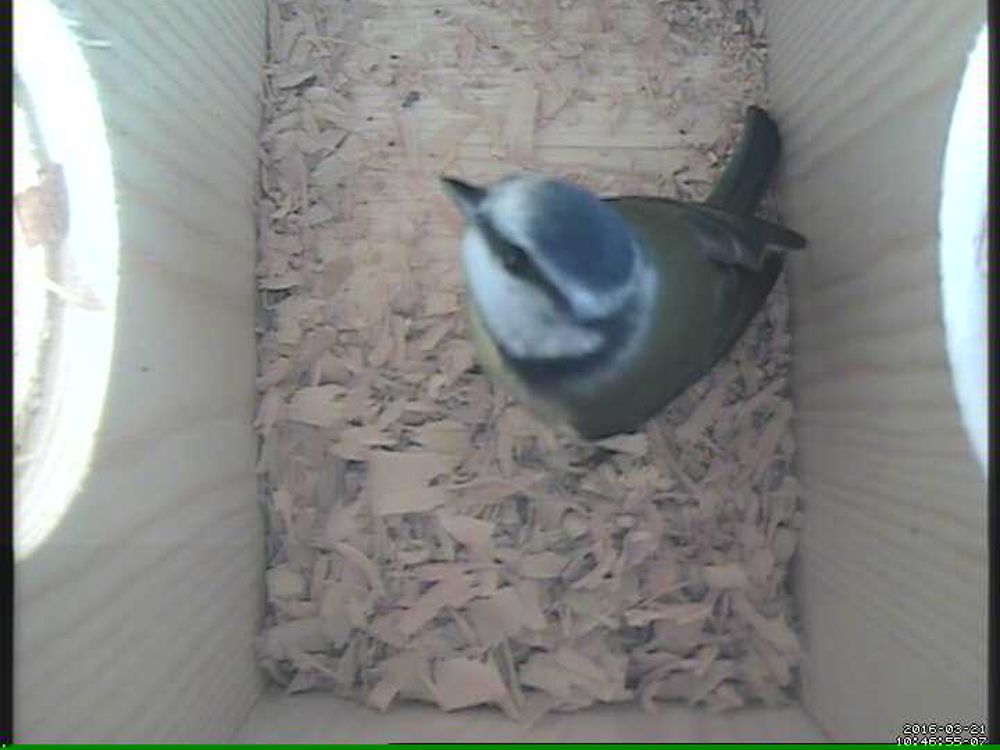 Blue Tit in our Nest Box