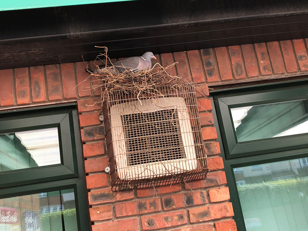 woodpigeon nesting